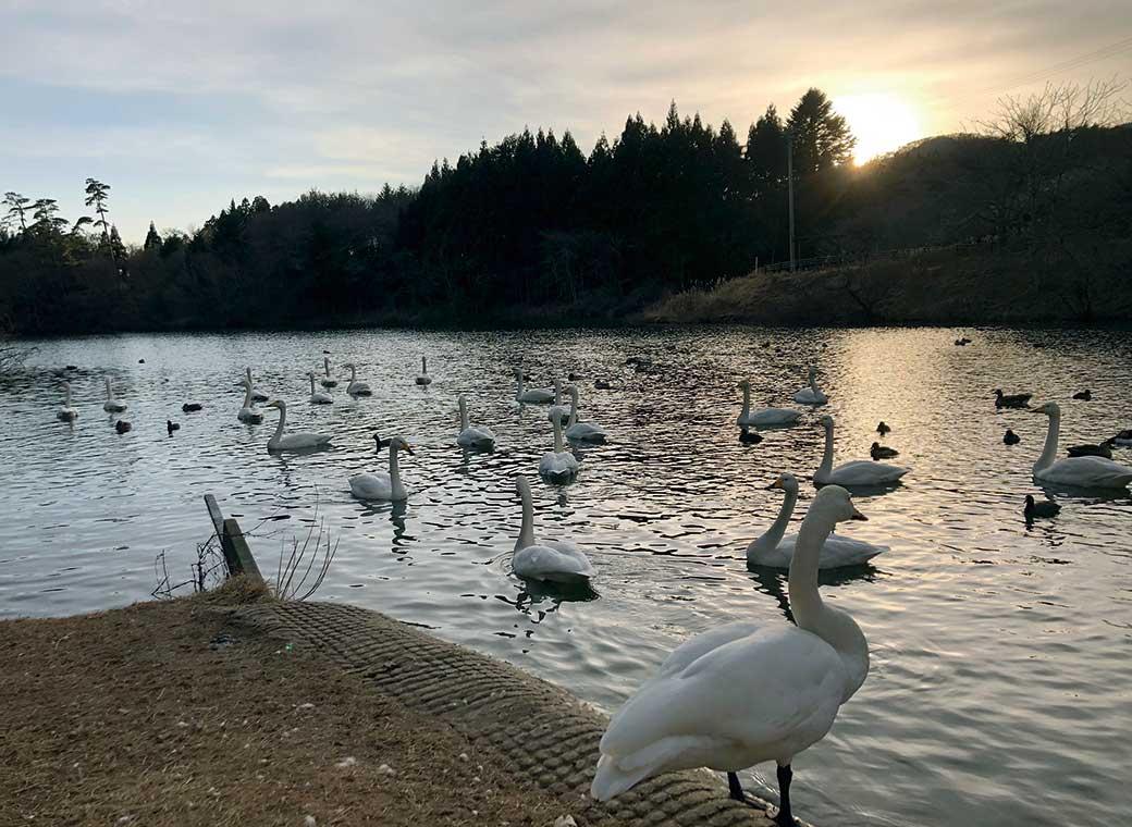 菖蒲沢の白鳥